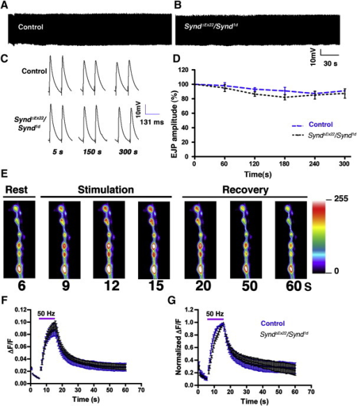 Syndapin loss-of-function mutants show normal rate of endocytosis (A, B) Synaptic depression was not observed in Synd mutants during high-frequency nerve stimulation. Continuous EJP recordings from (A) control and (B) synd heteroallelic larvae (syndΔEx22/synd1d) stimulated at 10 Hz for 5 min. (C) Representative traces of EJPs at indicated time points during 10 Hz stimulation in 1.5 mM Ca2+ containing HL3 saline. (D) Normalized EJP amplitudes in control (black lines) and synd heteroallelic larvae (syndΔEx22/synd1d) stimulated at 10 Hz for 5 min. No significant difference in EJP amplitude was observed at any time points. (E) Representative wild-type SpH responses to 50 Hz stimulation before, during and after stimulation. (F) Indistinguishable SpH responses in control (blue, n = 25 boutons, 5 animals; Elav3E, UAS-SpH, synd1d/+) and mutant synapses (black, n = 25 boutons, 6 animals; Elav3E, UAS-SpH, synd1d/syndΔEx22) to a 50 Hz, 10 s stimulus train in HL3 containing 2.0 mM Ca2+. The horizontal bar represents the duration of stimulus. SpH fluorescence intensity was normalized to the image prior to the onset of stimulus. (G) Same data as in F, however, values normalized to the peak ΔF/F intensity, for visual comparison of endocytosis rate after the stimulus train. Error bars are standard error of the mean (s.e.m.).