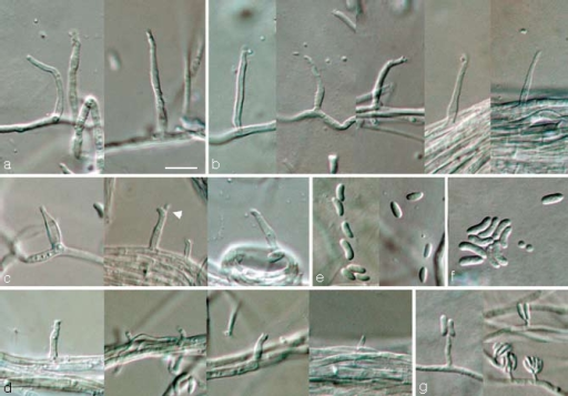 Phaeoacremonium pallidum. a–e. Aerial structures on MEA; a. conidiophores; b. type III phialides; c. type II phialides (arrow head indicates polyphialide); d. type I phialides; e. conidia. — f, g. Structures on the surface of and in MEA; f. conidia; g. adelophialides with conidia; all from CBS H-19945 (holotype). a–g: DIC. — Scale bar: a = 10 μm, applies to a–g.
