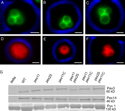 The H. polymorpha Pex11 family members. Fluorescence microscopy images of methanol-grown WT cells producing Pex11-GFP (A), Pex25-GFP (B), or Pex11C-GFP (C). All three proteins are localized to peroxisomes. (D–F) Fluorescence microscopy images of pex11 pex25 (D), pex11 pex11C (E), and pex25 pex11C cells (F) producing DsRed-SKL to mark the peroxisomal matrix. Cells were grown on glycerol/methanol mixtures. The DsRed-SKL fluorescence does not completely fill the matrix of the peroxisomes because of the presence of alcohol oxidase crystal inside the peroxisomes. Bar, 1 µm. Images were taken by wide-field fluorescence microscopy. The cell contour is indicated in blue. (G) Western blots showing the levels of Pex3 and Pex14 proteins in WT and various deletion strains. Cells were grown for 16 h on glycerol/methanol. Equal amounts of protein were loaded per lane. The first lane shows the negative controls of the corresponding deletion strain (i.e., pex3 and pex14). The pyruvate carboxylase (Pyc1) blot is added as loading control.