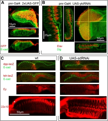 Gene silencing in the PE is sufficient to induce the PE–to-DP transformation.A) pnr-Gal4 drives expression in ∼early-mid L2 discs. Top: XY and ZX views of one disc; bottom: ZX of another. Gal4 is expressed in a broad domain within the dorsal PE. B) pnr-Gal4 UAS-ykiRNAi disc stained for Dlg (for cell shape) and Elav (for neurons). Right: confocal XY image of L3 disc with ZX and ZY projections; left: high magnification ZY of the same disc. PE-restricted expression of yki-RNAi transforms the dorsal region of the PE into DP/retina. High magnification panel shows that the transition from transformed to non-transformed region occurs over a few cell diameters. C, D) L3 discs stained in red for (top to bottom) dpp (dpp-lacZ) which marks the transition zone between eye progenitor cells and developing neurons, the RDFs tsh (tsh-lacZ) and Ey which mark eye progenitor cells, and the pan-neural membrane marker 22C10 which highlights differentiating neurons and their axons. Where shown, the membrane marker E-cadherin is in green. C) wt L3 discs show normal expression of dpp-lacZ in the transition zone where morphogenesis of the ommatidial array begins (visible as a depression in the DP of the wt discs, but not so marked in most transformed discs), tsh-lacZ and Ey in eye progenitor cells in the anterior portion of the disc (expression of Ey in the PE layer is also seen), and 22C10 stained neurons projects their axons posteriorly, along the basal side of the DP into the optic stalk and brain (not shown). Asterisk marks an axonal fascicle outside the eye disc (Bolwig's nerve). D) sd-RNAi L3 discs show mirror image duplications of each expression domain in two thicker, DP-like cell layers. The domains of dpp-lacZ expression are offset, indicating that, in this disc, neurogenesis in one layer lags behind the other layer. This was not always the case.
