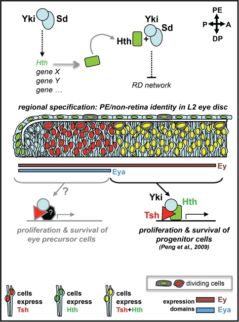 "Yki, Sd and Hth functions in different regions of the L2 eye disc.In this model, different combinations of co-factors associate with Yki to bring about different outcomes in distinct regions of the L2 eye disc epithelium. A Yki/Hth/Tsh complex would ensures the maintenance and expansion of the retina progenitors pool in the DP cell layer by promoting proliferation and suppressing apoptosis; whereas, in the PE, Hth is first induced by, and then would work in concert with, Yki and Sd to control regional specification by suppressing retina identity and promoting development of PE derivatives (this work). The induction of Hth by Yki/Sd could be direct or indirect (dashed arrow), whereas the negative regulation of one or more genes of the RD network would have to be, at least in part, indirect based on the non-cell-autonomous features of mutant clones. Whether Yki, together with Tsh and/or other partners, controls proliferation and survival of the more developmentally advanced 'Eya-positive + Hth-negative' retina progenitors (named here ""eye precursor"" cells) is likely, based on the small size of yki-RNAi expressing clones from this region of the disc, but requires further testing. Though not shown in this diagram for simplicity, Ey is also expressed throughout the PE and Eya is expressed in a restricted posterior-lateral portion of the PE, in the L2 eye disc; as shown, Tsh is detected only in the DP cell layer."
