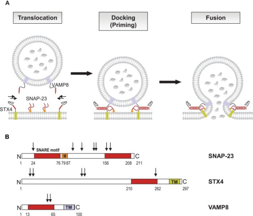 SNARE catalyzed granule fusion in mast cells. (A) Secretion of mediators requires fusion of vesicle and plasma membranes. Upon activation through FcεRI secretory granules translocate to and dock at the plasma membrane where the t-SNAREs SNAP-23 and STX4 together with the v-SNARE VAMP8 form stable tetrameric complexes of bundled helices bringing the lipid bilayers into a close distance to catalyze membrane fusion. The SNARE motifs of SNAP-23, STX4, and VAMP8, which become highly organized in the four helical bundle during the formation of the trans-SNARE complex are highlighted in color. (B) The primary structure of human SNAP-23, STX4, and VAMP8 as adapted from Hong (2005) is shown with SNARE motifs for each protein in like colors. STX4 and VAMP8 have C-terminal transmembrane domains (TM), whereas the linker domain of SNAP-23, which connects the two SNARE motifs, has a membrane anchor domain, consisting of palmitoylated cysteine residues (M). Numbers indicate protein or domain boundaries, arrows indicate potential phosphorylation sites (http://www.phosphosite.org). Phosphorylation of mouse SNAP-23 on Ser95 and Ser120 was found to modulate regulated mast cell exocytosis (Hepp et al., 2005), whereas phosphorylation of STX4 was not altered during secretion in RBL cells (Pombo et al., 2001).