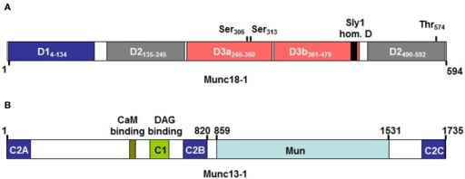 Domain structure of Munc18-1 (A) and Munc13-1 (B) as adapted from Koch et al. (2000); Misura et al. (2000); Li et al. (2011). Numbers above indicate protein or domain boundaries. For Munc18-1 domain boundaries are also directly included in the inset. The Munc18-1 protein contains three domains (with domain 3 being divided in D3a and D3b). According to crystal structure analysis the molecule adopts a horseshoe like structure that holds the STX-bound molecule in its closed conformation. Contact surfaces reside in D1 and D3a, which form the bottom ends of the horseshoe, while D2 and D3b form the upper end. Domain 3b includes the so-called Sly 1 homology domain containing the residue homologous to the Sly1-20 mutant in the yeast Sly1 protein, which bypasses the requirement for a Rab effector protein in yeast vesicular transport (Dascher et al., 1991). Above the domains are also indicated protein kinase C (Ser306 and Ser313) and Cyclin dependent kinase (Thr574) phosphorylation sites that may regulate Munc18-1 effector functions. (B) The Munc13-1 protein contains several calcium-binding C2 domains, a Diacylglycerol (DAG) C1 domain making it responsive to stimulation with PKC as well as a calmodulin binding domain. Note that the ubiquitouisly expressed isoform 13-4, which is important in mast cell exocytosis lacks the N-terminal C2a, CaMb, and C1 domains. The Mun domain shows structural similarity to thethering proteins and may play a role in the transition of the closed conformation of STX molecules by contacting either Munc18 or STX molecules (Li et al., 2011; Sudhof and Rizo, 2011).