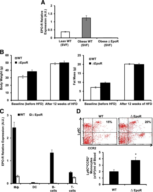 Endogenous EPO/EPO-R signaling regulates WAT Mф infiltration and subtype shift. WT C57BL/6 and age-matched ∆EpoR male mice with obesity induced by HFD feeding for 12 weeks were used. A: EPO-R expression levels were determined in SVF relative to β-actin. Shown are body weight and fat mass before and after DIO (B) and EPO-R expression analysis by qRT-PCR in different immune cell subsets (C) from spleens in which Mф were FACS-purified based on F4/80 expression and dendritic cells, B-cells, and T-cells that were purified by magnetic activated cell sorting through positive selection of CD11c+ (dendritic cells), CD19+ (B-cells), and CD3+ (T-cells) cells. Shown are percentage and numbers of circulating blood inflammatory monocytes (D); cytokine and chemokine gene expression profile of perigonadal SVF (E); protein levels of TNF-α, IL-10, and CCL2 (F); percentage and numbers of total Mф (G); and representative H&E-stained histology sections of perigonadal WAT (H). MGL-1+, MGL-1−, and CD11c+ Mф subset percentages (dot plots) and numbers per gram of perigonadal fat tissue (I), gene expression determined relative to β-actin (J), and serum and WAT IL-4 levels (K) are shown. Results are mean ± SEM for n = 5 mice per group, representative of three independent experiments with similar results. *P < 0.05; **P < 0.01 WT vs. ∆EpoR. DC, dendritic cells.
