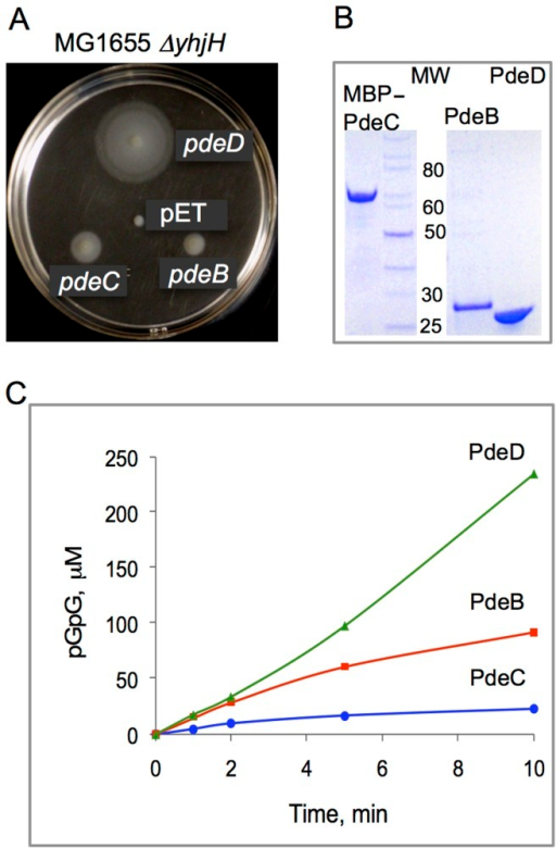 PDE activities of the L. monocytogenes proteins PdeB-D.A: Restoration of motility in semi-solid (0.25%) agar of strain MG1655 ΔyhjH by L. monocytogenes PdeB, PdeC and PdeD is indicative of their c-di-GMP PDE activities. PdeB-D were expressed as C-terminal His6-fusions downstream of the T7 promoter from vector pET23a. Although MG1655 does not encode a T7 RNA polymerase gene, the pde genes were expressed from a fortuitous promoter at sufficiently high levels to partially restore the swimming defect of MG1655 ΔyhjH in semi-solid agar. pET, empty vector (pET23a). B: Affinity purified L. monocytogenes PdeD (PdeD::His6), PdeB (PdeB::His6) and PdeC (MBP::PdeC) proteins used in the PDE assays. MW, molecular weight, kD. C: PDE activities of PdeD::His6, PdeB::His6 and MBP::PdeC monitored by the rates of formation of pGpG, the product of c-di-GMP hydrolysis. Nucleotides were measured by HPLC as described earlier [38].