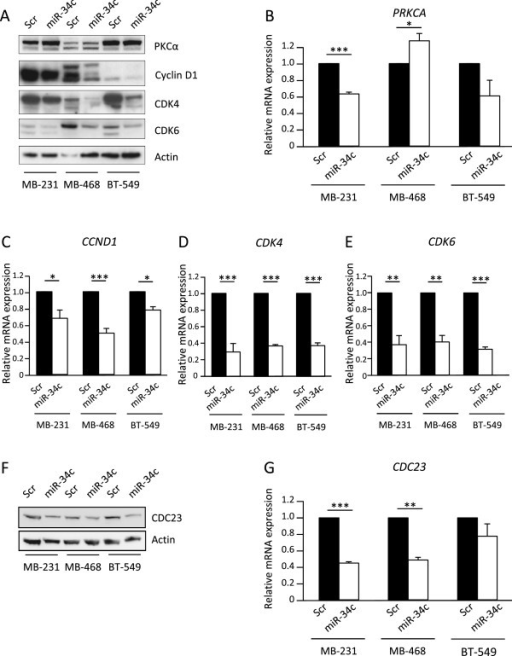 Evaluation of miR-34c targets. Following transfection of MDA-MB-231, MDA-MB-468 and BT-549 (breast cancer cells with miR-34c mimic or negative control for 96 h, cells were analyzed for expression of PRKCA(B), CCND1(C), CDK4(D), CDK6(E) or CDC23(G) mRNA with real-time quantitative PCR or for protein expression with Western blot (AandF). Data represent mean ± SEM from 2–3 independent experiments and the blots shown are representative of three independent experiments. Asterisks indicate statistically significant differences (* p < 0.05, ** p < 0.01, *** p < 0.001, Student's t-test) compared to control cells.