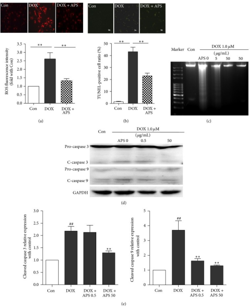 APS reverses the doxorubicin-induced oxidative stress and apoptosis of cardiomyocytes. (a) DHE staining of control NRVMs, doxorubicin-treated (1 μM) NRVMs, and NRVMs pretreated with APS (50 μg/mL) followed by doxorubicin treatment (n = 4, **P < 0.01). (b) Cardiomyocyte apoptosis as detected by TUNEL in control and doxorubicin-treated (1 μM) NRVMs and NRVMs pretreated with APS (50 μg/mL) followed by doxorubicin treatment (n = 4). (c) Cardiomyocyte apoptosis as detected by DNA laddering for control and doxorubicin-treated (1 μM) NRVMs and NRVMs pretreated with APS (50 μg/mL) followed by doxorubicin treatment (n = 4). (d) APS suppressed doxorubicin-induced caspase 3 and caspase 9 activation in a concentration-dependent manner in NRVMs as assayed by Western blotting (n = 3) (##P < 0.01 versus control group, *P < 0.05 versus the doxorubicin-treated group, and **P < 0.01 versus the doxorubicin-treated group).