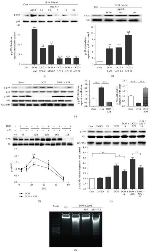 APS attenuates doxorubicin-induced heart injury by regulating p38MAPK and Akt phosphorylation. (a) APS decreases p38MAPK phosphorylation in a concentration-dependent manner in NRVMs as assayed by Western blotting (n = 3, ###P < 0.001 versus control group, **P < 0.01 versus the doxorubicin-treated group, and ***P < 0.001 versus the doxorubicin-treated group). (b) APS increases Akt phosphorylation in NRVMs (n = 3, ##P < 0.01 versus control group, **P < 0.01 versus the doxorubicin-treated group). (c) Western blotting and average data for p38MAPK and Akt phosphorylation in sham and doxorubicin-induced heart injury mice and mice pretreated with APS (n = 8-9, ***P < 0.001). (d) Time course of doxorubicin-induced Akt phosphorylation in NRVMs (n = 3, *P < 0.05 versus 0 hr sample, **P < 0.01 versus 0 hr sample). (e) The APS protective effect was reversed by the PI3K inhibitor LY294002. NRVMs were pretreated for 1 h with 2 μM LY294002 prior to APS (50 μg/mL) and DOX (1 μM) treatment. Akt phosphorylation and cleaved caspase 3 were analyzed by Western blotting (n = 3, *P < 0.05, **P < 0.01). (f) Cardiomyocyte apoptosis as detected by DNA laddering in control and DOX-treated NRVMs, NRVMs pretreated with APS (50 μg/mL) followed by DOX treatment, and NRVMs pretreated with APS (50 μg/mL) and LY294002 (2 μM) followed by DOX treatment (n = 4).