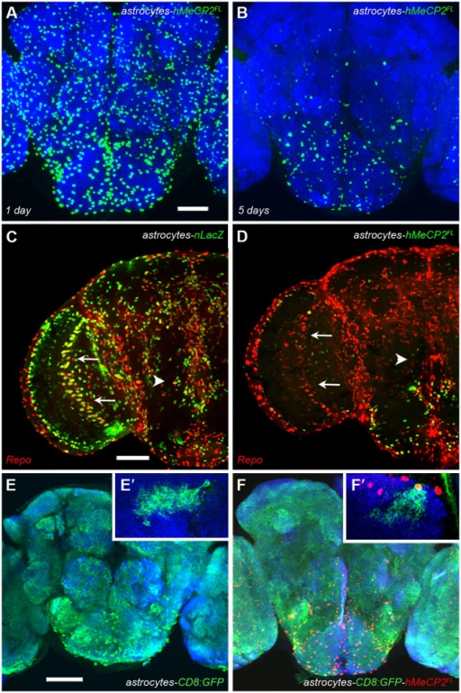 hMeCP2 expression is developmentally regulated and does not alter glial differentiation.(A) At 1 day post-eclosion, hMeCP2 expression is detected by immunofluorescence in the majority of alrm-Gal4 expressing astrocytes. (B) At 5 days post-eclosion, hMeCP2 protein is reduced or not detectable in astrocytes located outside of the SOG region. (C) The transcription factor Repo is co-expressed with β-gal in optic lobe astrocytes (arrow) in alrm-Gal4/UAS-nucLacZ;alrm-Gal4 progeny. (D) hMeCP2-expressing astrocytes maintain glial differentiation as assayed by Repo expression in the optic lobe (arrow) and the SOG (arrowhead) in the alrm-Gal4/+;alrm-Gal4/UAS-hMeCP2FL adult brain. Scale bars represent 50 µm. (E,E′) Confocal image of the large number of astrocytes labeled by a cell-membrane GFP reporter in the brain of a control alrm-Gal4/+;alrm-Gal4/UAS-CD8:GFP adult. (E′) Optical sections of a hs-flp;alrm-Gal4/UAS->stop>CD8:GFP;alrm-Gal4/+ control brain at a high magnification showing a single GFP-expressing astrocyte. (F,F′) hMeCP2FL-expressing astrocytes labeled with the same cell-membrane GFP reporter in an adult alrm-Gal4/UAS-CD8:GFP;alrm-Gal4/UAS-hMeCP2FL brain five days post-eclosion. GFP-expressing astrocytes with or without detectable hMeCP2 (red nuclear expression) cover the entire brain as in control brains. (F′) Optical sections from a hs-flp;alrm-Gal4/UAS->stop>CD8:GFP;alrm-Gal4/UAS-hMeCP2FLbrain at high magnification showing a single GFP and hMeCP2FL -expressing astrocyte. The dense, fine processes observed in control astrocytes are present in astrocytes expressing hMeCP2FL. Scale bar represents 50 µm.
