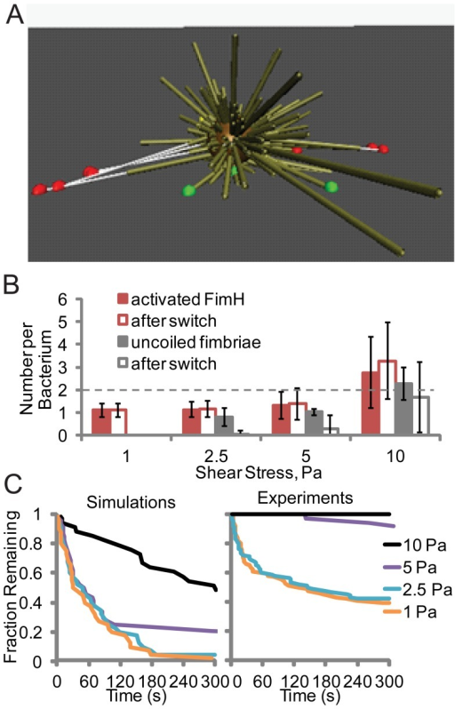 Ability of bacteria to withstand variable flow conditions.A) Cartoon of simulated bacteria suspended between multiple fimbriae after shear stress is decreased from 25 to 0.01 Pa (from left to right). Bonds that are activated and not activated are shown as red and green balls, respectively, and uncoiled sections of fimbriae as thin white lines. B) Number of uncoiled fimbriae and activated bonds at the indicated shear stress before and after a decrease to 0.01 Pa in simulations. (Error bars  =  SD, N = 33 to 44 bacteria). C) Fraction of bacteria remaining bound over time after a decrease from the indicated shear stress to 0.01 Pa in simulations (N = 33 to 44) and experiments (N = 36 to 90).