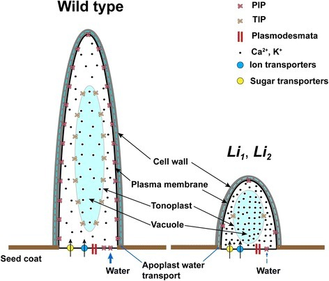 A possible mechanism of termination of fiber elongation in theLi1andLi2mutants. The high osmotic pressure in fiber cell of WT and high level of expression of aquaporins facilitates influx of water that contributes to the rapid fiber elongation. The higher accumulation of ions in fiber cells of Li1 – Li2 may be the result of limited uptake of water. The reduced influx of water (due to low concentration of sugars and low expression of aquaporins) causes the reduced fiber elongation in the Li1 – Li2 mutants.