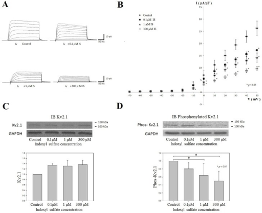 The effect of IS on H9c2 cardiomyocyte IK and potassium channel protein Kv2.1 expression.(A) The representative current traces for delayed rectifier potassium outward currents (Ik) in H9c2 cells with different indoxyl sulfate (IS) concentration treatment. Ik were elicited by 300 ms depolarizing step pulses from -70 to 50 mV at a holding potential of -60 mV. (B) The average relationships between Ik (pA/pF) and membrane potential in the control, 0.1μM IS, 1 μM IS and 300μM IS groups (n = 6 for each groups) comparing the IS treated group with the control group, Ik was significantly decreased at membrane potentials from 0 mV to 50 mV in a dose-dependent manner. (C and D) The expression of Kv2.1 and phosphorylated Kv2.1 by Western blot in the H9c2 cells treated with different concentration of IS (0.1μM, 1 μM and 300μM). The expressions of Kv2.1 were not significantly different among the control and IS-treated groups (C). However, the phosphorylated Kv2.1 was significantly decreased in the 1 μM IS-and 300 μM-IS treated groups (D). (n = 6 for each groups) *: p<0.05 as compared with the control group.