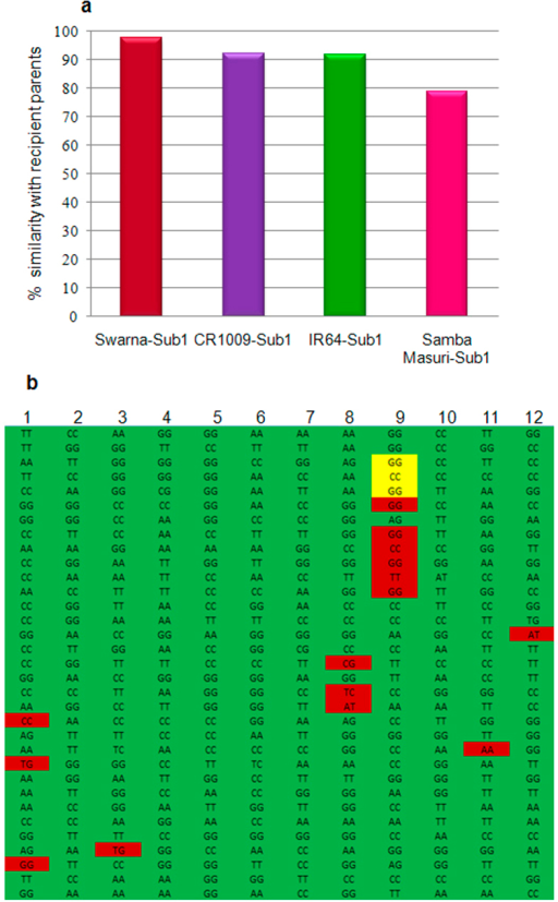 Background recovery analysis in Sub1 derivatives of four mega rice varieties:(a) Percentage similarity between recipient variety and its backcross derived submergence tolerant version (b) Snapshot of chromosome wise (1-12) similarity between Swarna and Swarna-Sub1, alleles of donor parent are indicated in red color, while Sub1B gene is highlighted in yellow color on chromosome 9.