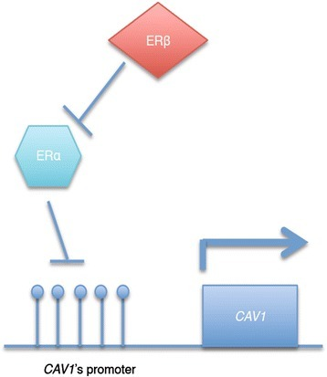 The mechanism of action of ER isoforms on CAV1 expression. Over-expression of ERα leads to down-regulation of CAV1 expression through epigenetic mechanisms. However, the co-expression of ERβ inhibits the effect of ERα, resulting in removal of the transcriptional suppression activity of ERα