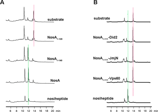 The enzymatic assay performed on HPLC systems:(A) from top to bottom, only substrate as a control, NosA1-120, NosA1-140 variants, full-length NosA, and the catalytic reaction product nosiheptide used as another control; (B) from top to bottom, only substrate as a control, NosA1-111 plus Did2, NosA1-111 plus JmjN from KDM5C, NosA1-111 plus Vps60, and the catalytic reaction product nosiheptide used as another control. In (A,B), the controls substrate and the product nosiheptide were indicated by pink and green dotted line, respectively.