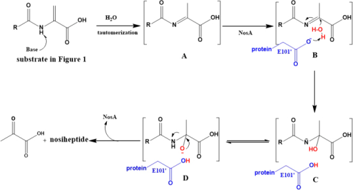 The proposed mechanism of NosA to catalyze nosiheptide maturation.
