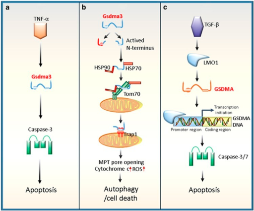 Regulatory roles of Gsdma3/GSDMA in autophagy or apoptosis. (a) Gsdma3 acts as a key mediator in the TNF-α-induced apoptosis pathway. TNF-α can upregulate Gsdma3, whereas Gsdma3 causes the catagen-associated apoptosis of hair follicle keratinocytes by directly enhancing the caspase-3 expression. (b) Gsdma3 causes autophagy through a mitochondria-dependent pathway. Mutant Gsdma3 loses its whole C-terminal domain, consequently releasing the intrinsic pro-autophagic activity of the N-terminal domain. Then, the unmasked N-terminal domain of Gsdma3 is associated with Hsp90 to be delivered to mitochondria through mitochondrial importer receptor Tom70, where it interacts with the mitochondrial chaperone Trap1 and induces mitochondrial permeability transition (MPT) pore opening, mitochondrial reactive oxygen species (ROS) production, cytochrome c releasing, resulting finally in cell death. (c) Human GSDMA involves transforming growth factor (TGF)-β-induced apoptosis. TGF-β upregulates GSDMA expression by LIM domain only 1 (LMO1) induction through a sequence to which LMO1 binds, in a GSDMA promoter region. Ultimately, the increased GSDMA induces apoptosis of the pit cells of human gastric epithelium