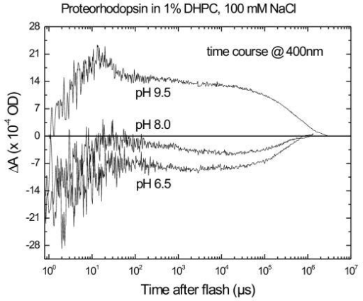Dependence on pH of the M-like intermediate of pR. Time courses of flash-induced absorbance changes measured at 400 nm and 22°C for pR in 1% DHPC/100 mM NaCl solution at pH 6.5, 8.0 and 9.5. A positive differential absorbance at 400 nm is indicative of the presence of the M intermediate. The logarithmic time scale ranges from 100–107 μs after photolysis by a 10-ns laser pulse at 500 nm, with an energy of 3–6 mJ.