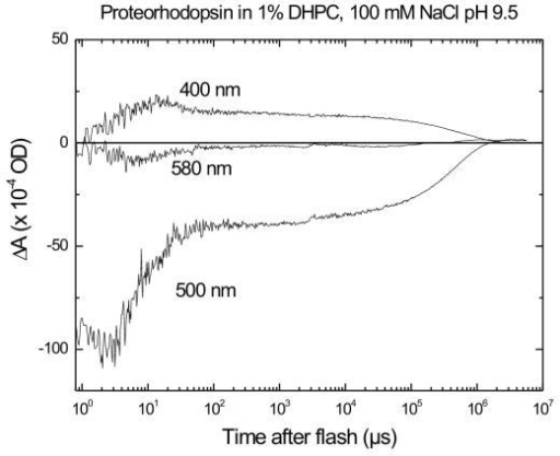 Photocycle kinetics of pR at selected wavelengths at pH 9.5. Time traces were measured at 400, 500, and 580 nm. The 400-nm trace shows the kinetics of the M intermediate, i.e. the deprotonated Schiff base, as in Fig. 3. The 500-nm trace shows the depletion signal of pR at the earliest times, and then the time course of the N intermediate as well as return of the pR resting state. The 580-nm trace is indicative of an O-like intermediate. The conditions are 1% DHPC, 100 mM NaCl, pH9.5 at 22°C. The laser excitation is as in fig. 3.