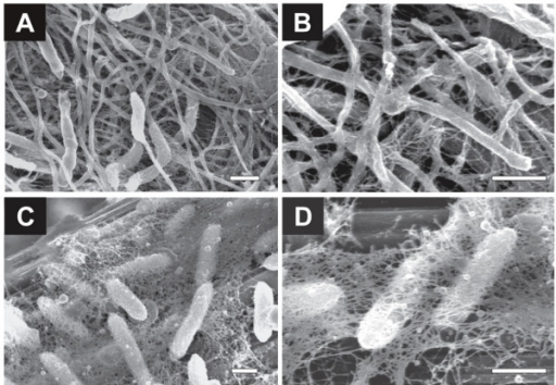 Magnified FE-SEM images for biofilms adhering onto graphite-fiber anodes. Anode biofilms enriched from the rice paddy field soil were shown in panels A and B, while Geobacter biofilms were shown in panels C and D. Bars are 500 nm.
