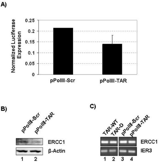 TAR miRNA altered ERCC1 protein expression without altering mRNA levels. (A) 293T cells were transfected with psiCheckERCC-737 and either pPolIII TAR or pPolIIIScr. Renilla and firefly luciferase expression was measured after 72 hours. Data shown represent the normalized ratio of Renilla luciferase to firefly luciferase for two replicates. 293T cells were transfected with either pPolIII TAR or pPolIIIScr. Forty-eight hours after transfection the cells were harvested and protein and RNA extracts were prepared. (B) Protein extracts were Western blotted for ERCC1 and β-actin expression. (C) RNA extracts were used to generated cDNA, and ERCC1 and IER3 mRNA levels were determined by PCR.