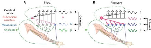 Schematic illustrations of the proposed mechanisms underlying functional recovery after the l-CST lesion, proposed from the present results. (A) In the intact state, a direct CM connection (black) or peripheral feedback (green) contributes to generate the cortico-muscular coupling at the frequency of the β-band. (B) During the recovery from l-CST lesion, subcortical neural systems (red) that mediate cortical command or peripheral feedback (green) to motoneurons might be involved in generating the 30–46-Hz IMC that emerged in a variety of hand/arm muscles. Dotted lines indicate polysynaptic connections.