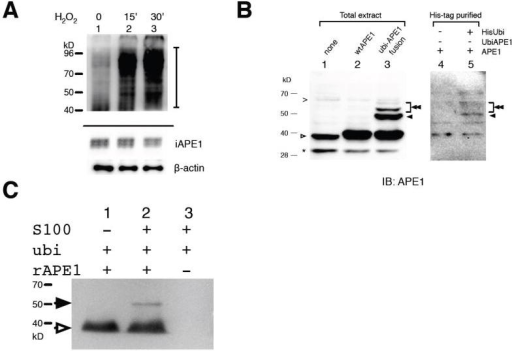 APE1 ubiquitination in vivo and in vitro(A) AML cell line Kasumi-1 was treated with 1mM H2O2 for 15 (lane 2) or 60 min (lanes 3), and the total extracts were analyzed with APE1 immunoblot as described in Materials and Methods. (Top) HWB APE1 with intensified signals. A bar at the right side indicates the appearance of HWB APE1 (top panel). (Bottom) Intact APE1 and β-actin (re-blot) of the same sample set. (B) Detection of APE1 ubiquitination in cells. (Left) Molecular weight references for ubiquitinated APE1. Total protein extracts from HCT116 cells were blotted with anti-APE1 antibody. Cells were expressing (lane 1) none, (lane 2) wtAPE1, and (lane 3) ubiquitin-APE1 fusion (ubi-APE1). (Right) Protein extracts from HCT116 cells expressing wtAPE1 and (lane 4) the pcDNA3.1 control vector or (lane 5) His-tagged ubiquitin were purified through Ni-NTA magnet beads under the denaturing condition (Materials and Methods). (C) In vitro ubiquitination. Recombinant APE1 was incubated with ubiquitin and HeLa S100 fraction, and then analyzed with anti-APE1 in immunoblot. (A-C) Protein positions are indicated for intact APE1 (open arrow), monoubiquitinated APE1 (filled arrow), polyubiquitinated APE1 (double filled arrow), a truncated APE1 due to degradation (*), and non-specific bands (>).