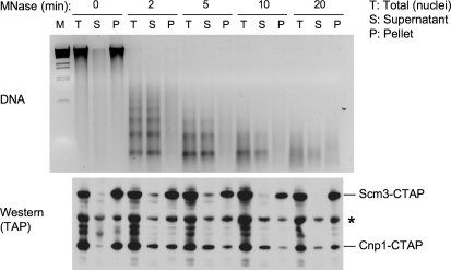 Scm3Sp Does Not Extract with CENP-ACnp1 from ChromatinExtraction of CENP-ACnp1 from chromatin by MNase digestion. Nuclei were prepared from cells in which endogenous scm3+ and cnp1+ genes were TAP-tagged. After progressive MNase digestion as labeled, total nuclei digestion mixtures (T) were separated into soluble supernatant (S) and nuclei pellets (P) by centrifugation. Samples were subject to DNA extraction and electrophoresis (upper panel) or protein extraction and western blotting (lower panel). Bands labeled with an asterisk are nonspecific proteins detected by the antibody. Figure S8 shows that bulk histones (H4) are also released into supernatant.