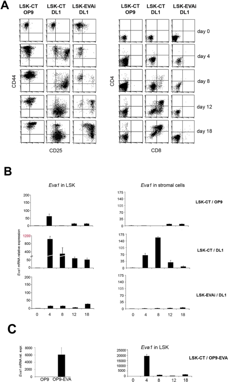 In vitro T cell development with LSK-EVAi cells.(A) Time course of T cell differentiation of LSK cells infected with a non-interfering (LSK-CT) or with an Eva1 interfering lentivirus (LSK-EVAi) respectively, cocultured with either OP9-GFP control cells or OP9-DL1. Flow cytometric analysis of CD25/CD44 (left panel) and CD4/CD8 (right panel) stainings revealed that LSK-EVAi cells had a delayed DN1-DN3 transition and failed to generate CD4 and CD8 cells in OP9-DL1 cocultures. (B) Time course of Eva1 expression in both haematopoietic (left panels) and stromal (right panels) cells, respectively. Cocolture combinations are indicated. No variations in EVA1 expression are observed in either cell type, from cocoltures that do not sustain T cell development (LSK-CT/OP9 and LSK-EVAi/DL1). Eva1 is strongly up-regulated at 4 and 8 days of LSK-CT/DL1 coculture, during DN1-DN3 transition. Note: scale amplitude in Eva1 real-time RT-PCR in haematopoietic cells. Eva1 is concomitantly up-regulated in stromal OP9-DL1 counterpart too. (C) Right panel: time course of Eva1 expression in haematopoietic cells coltured on OP9 cells overexpressing EVA1. Left panel: EVA1 expression in OP9 and OP9-EVA cells, respectively.