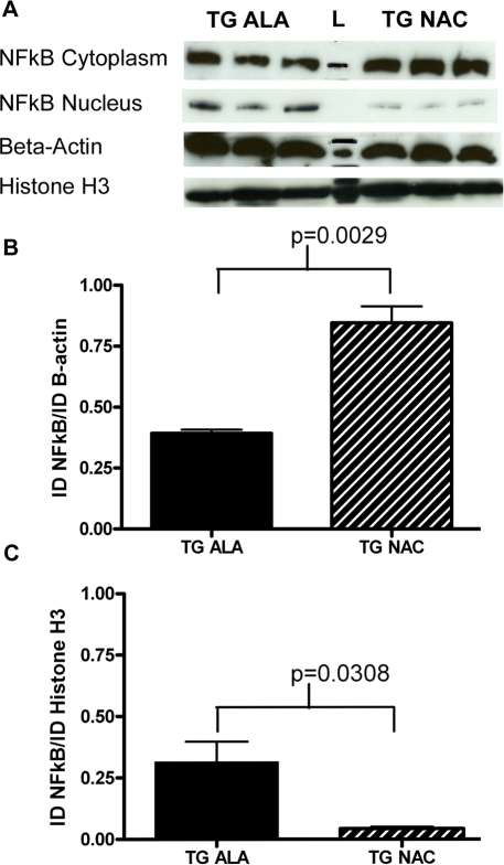 Long-term NAC treatment affects sub-cellular localization of NFκB.A. 2.5 µg of cytoplasmic protein lysate from the cortex of 3 alanine- and 3 NAC-treated PDGFb-SNCA mice was run on a 10-well 4–15% SDS-PAGE gel (Bio-Rad). After transfer, the membrane was cut around the 50 kD marker and probed with anti- NFκB p65 antibody (Santa Cruz) and anti-β-actin antibody (Santa Cruz). 2.5 µg of nuclear protein lysate was run on a separate 10-well 4–15% SDS-PAGE gel and the treated in the manner outlined above. In both cases a single 65 kDa band was observed for NFκB and a single 43 kDa band was observed for β-actin. B. Band quantification of cytoplasmic NFκB normalized to β-actin levels. C. Band quantification of nuclear NFκB normalized to Histone H3 levels. Data were analyzed using a 2-tailed Student's t-test. All relevant statistically significant comparisons are indicated on the graphs. The experiment was repeated three times; representative results from a 1 minute exposure of both blots are shown.