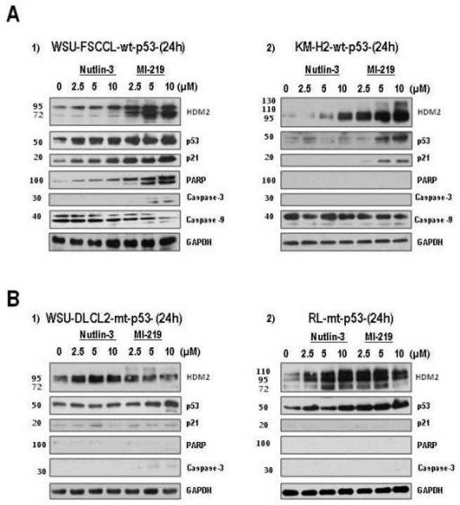 Upregulation of p53 and p53-target proteins upon HDM2 inhibition. Cells were exposed to increasing concentrations of HDM2 SMIs for 24 h. Whole cell lysates were subjected to SDS-PAGE and probed for specific proteins. Western blots show changes in p53 and its target proteins after 24 h for the 4 cell lines studied. A) The two wt-p53 cell lines, WSU-FSCCL (A1) and KM-H2 (A2) are presented in the top panel. B) The two mt-p53 cell lines, WSU-DLCL2 (B1) and RL (B2) are presented in the lower panel. Representative blots are shown.