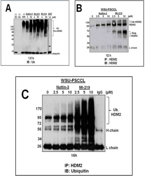 MI-219, but not Nutlin-3, enhances HDM2-mediated autoubiquitination and degradation. A) Immunoblot probed for ubiquitin represent autoubiquitination of recombinant His-HDM2 in the presence of Nutlin-3, MI-219 or MI-319 (laboratory grade MI-219) at IC50 or 50 μM for 1.5 h in a cell free autoubiquitination assay. Lane 1: no E2 enzyme; Lane 2: no ubiquitin; Lane 3: Control, no SMI. HDM2 SMIs were assessed at IC50 or 50 μM concentrations and were as follows; Lane 4–5, Nutlin-3; Lanes 6–7, MI-219; Lanes 8–9, MI-319; Lane 10: Disulfiram (10 μM). B) Western blot for HDM2 immunoprecipitated from WSU-FSCCL cells exposed to HDM2 SMIs for 12 h was then probed for with HDM2 to expose full length, ubiquitinated and degraded HDM2 species as described in Methods. C) Immunoprecipitated HDM2 from WSU-FSCCL cells exposed to HDM2 SMI for 16 h was immunoblotted with monoclonal anti-ubiquitin antibody to reveal ubiquitin associated-HDM2. Data are representative of 3 independent experiments.