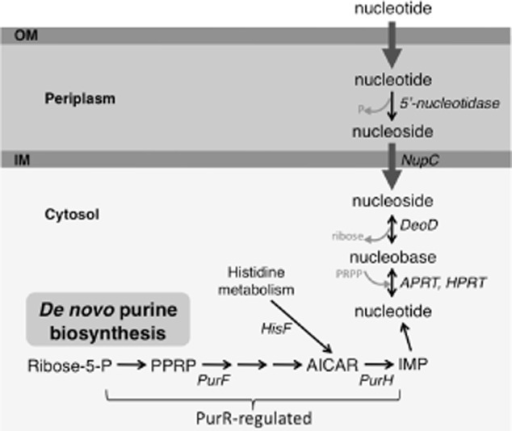 biosynthesis metabolism and utilization Metabolism pathways for the utilization of carbohydrates  biosynthesis of purine nucleotides not all of the intermediate compounds formed are shown.