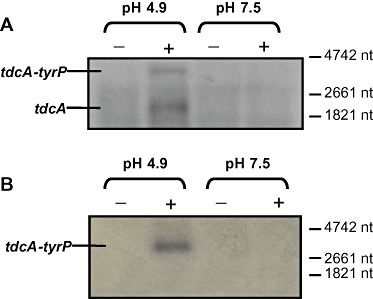 Expression of tdcA and tyrP in the presence (+) and absence (−) of 10 mM tyrosine under different pH conditions (pH 4.9 and pH 7.5), determined by Northern blotting using internal probes specific for tdcA (A) and tyrP (B). Sizes were estimated using RNA Molecular Weight Marker I (Roche Diagnostics).
