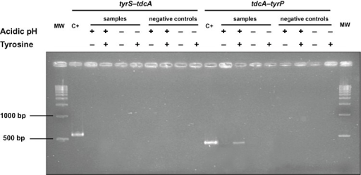Reverse transcription‐PCR amplification of the intergenic regions tyrS‐tdcA and tdcA‐tyrP at acidic (+) and non‐acidic pH (−), with (+) and without (−) 10 mM tyrosine; C+, positive control; MW, molecular weight marker.
