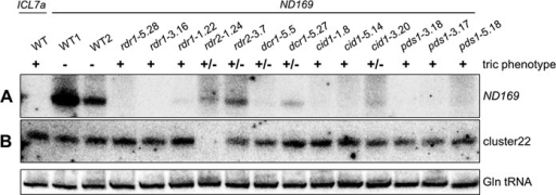 Abolished siRNA accumulation in RNAi mutants. (A) Northern blot analysis of ND169 siRNAs revealed failure or strong reduction of accumulation of exogenously induced siRNAs in all mutants, consistent with previous findings from depletion of Dcr1, Rdr1 and Rdr2 by RNAi (15,22,23). This suggests a role of these RNAi factors upstream or within siRNA biosynthesis or stabilization. It is of note that silencing efficiencies can vary from one dsRNA feeding experiment to another, possibly due to contamination by traces of the standard food bacterium Klebsiella (showing partial Ampicillin resistance) which overgrows dsRNA-producing E. coli. This may explain differences in the total level of dsRNA-induced siRNAs in different wild-type cultures. The ND169 probe corresponds to a 100 bp region of the dsRNA and is sense oriented, as antisense siRNAs represent the predominant fraction of siRNAs in the dsRNA region (22). (B) Detection of endogenous siRNAs from an intergenic region of scaffold 22 (cluster22) revealed that rdr2 mutants are unable to accumulate these siRNAs. The probe is complementary to the predominant fraction of siRNAs (top strand) of this region. The lower panel shows hybridization to glutamine tRNA as a loading control.