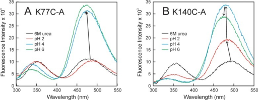 Fluorescence spectra of the AEDANS-substitutedmutants under variousconditions of pH and presence of denaturant: (A) K77C-A and (B) K140C-A.