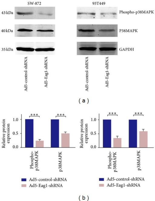 Eag1 regulates p38 MAPK activity in liposarcoma cells. Cells were infected with shRNA for 48 h. (a) Western blot analysis of phosphorylated p38 MAPK level in Ad5-Eag1-shRNA group and negative control group. (b) Densitometric analysis of the blots with GAPDH as loading control. Data are expressed as mean ± SD (n = 3). ∗∗∗P < 0.001.