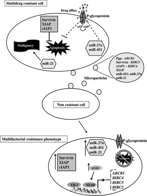 Schematic diagram of multifactorial phenotype acquisition. Multidrug resistant (MDR) cancer cell-derived MP carry and transfer MDR molecules to non-resistant cancer cells, which can then establish multifactorial resistance.