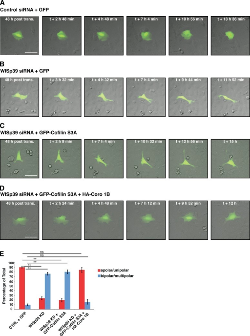 WISp39 KD can be rescued by expression of Cofilin(S3A) and WT Coronin 1B. (A and B) Images of control and WISp39 KD cells. U2OS cells were transfected with control (A) or WISp39 (B) siRNA and with GFP plasmid to visualize transfected cells. 20× DIC images were taken at 48 h after transfection over a period of 16 h. A control cell (A) retains normal apolar/unipolar morphology throughout the experiment, unlike a WISp39 KD cell (B), which becomes elongated and multipolar. (C) Images of failure of Cofilin(S3A) to rescue WISp39 KD. U2OS cells were cotransfected with human WISp39 siRNA and GFP-Cofilin(S3A) for 48 h, and one cell was imaged as in A. WISp39 KD cell transfected with GFP-Cofilin(S3A) shows abnormal cell polarity similar to that of WISp39 KD cells. (D) Images of rescue of WISp39 KD by Cofilin(S3A) and Coronin 1B. U2OS cells were cotransfected with human WISp39 siRNA and GFP-Cofilin(S3A) and HA–Coronin 1B WT for 48 h, and 20× DIC images were taken. WISp39 KD cell transfected with GFP-Cofilin(S3A) and HA–Coronin 1B (Coro 1B) retains normal apolar/unipolar morphology throughout the experiment. (E) Quantitation of WISp39 KD rescue by Cofilin(S3A) alone or Cofilin(S3A) and Coronin 1B WT. U2OS cells were cotransfected for 48 h. Cells were scored as either apolar/unipolar or bipolar/multipolar and presented as a percentage of total cells scored. Number of rescued cells scored: control siRNA + GFP (22); WISp39 KD + GFP (21); WISp39KD + GFP-Cofilin(S3A) (25); WISp39KD + GFP-Cofilin(S3A) + HA–Coronin 1B WT (25). Note that only fluorescent cells were scored. Data represent the means ± SD. Student's t test; **, P ≤ 0.01; ns, not significant. CTRL, control; post trans., posttransfection. Bars, 50 µm.