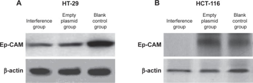 Detection of expression of Ep-CAM protein with western blot.Notes: (A) Ep-CAM expression in HT-29 cells. (B) Ep-CAM expression in HCT-116 cells. Western blot results showed that in HT-29 and HCT-116 cells, expression of Ep-CAM protein was significantly lower in the interference group than in the empty plasmid group and blank control group.