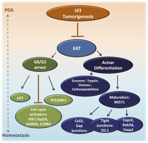 Proposed model of mechanisms underlying E47/ID3 regulation of growth, acinar differentiation, and tumorigenicity in human PDA. Our working model is that high levels of ID3 contribute to tumorigenicity by inhibiting the bHLH transcriptional network. Conversely, E47 induces G0/G1 arrest via p21 and TP53INP1 induction and downregulation of cell cycle activators (eg, aurora kinase, topoisomerase, cyclinb2). Concurrently, E47 induces an acinar differentiation program that is characterized by re-expression of digestive enzymes, upregulation of Mist1, and its target genes and re-establishment of cell-cell junctions. Together, the combined activities of E47 constrain tumor growth.
