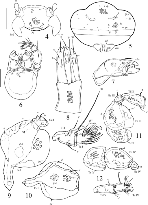 Scapheremaeusgibbus sp. n., adult: 4 frontal view of prodorsum (legs I except basal parts not shown) 5 posterior view 6 subcapitulum and palp 7 chelicera, antiaxial view 8 ovipositor 9 leg I, without trochanter, right, antiaxial view 10 femur of leg II, left, paraxial view 11 leg III, without tarsus, left, antiaxial view 12 leg IV, left, antiaxial view. Scale bars 50 µm (4, 5), 20 µm (6–12).