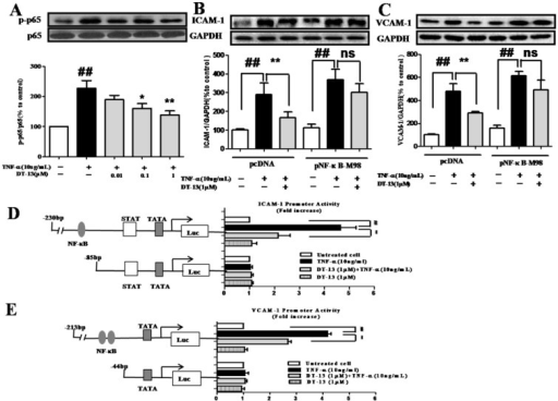 DT-13 inhibited TNF-α-induced ICAM-1 & VCAM-1 activity dependent with NF-κB pathway. (A). DT-13 inhibited TNF-α-induced p-65 phosphorylation in HUVECs. HUVECs were pretreated with DT-13 (0.01, 0.1 or 1 μM) for 1 h followed by TNF-α (10 ng/mL) exposure. Expression and activation of p-65 were detected by western blotting. ## P<0.01 νs. the control group; * P<0.05,** P<0.01 νs. the TNF-α group. (B) & (C). The over-expression of p65 overcomes the inhibitory effect of DT-13 on ICAM-1 (B) and VCAM-1 (C) expression. (D) Human ICAM-1 promoter or (E) VCAM-1 promoter were ligated into pGL3 basic luciferase vectors. The binding sites for transcription factors are also shown. Right: Cells were transfected with indicated forms of (D) ICAM-1 or (E) VCAM-1 promoter for 24 h, and then incubated with DT-13 for 1 h followed by TNF-α (10 ng/mL) stimulation for 4 h. The promoter activity is represented by the level of luciferase activity indicated by relative light units (RLU). pRL-TK plasmid was also transfected into cells and used as an internal control. The data represent the mean ± SD of three experiments. # P<0.05, ## P<0.01 νs. the control group; * P<0.05,** P<0.01 νs. the TNF-α group.