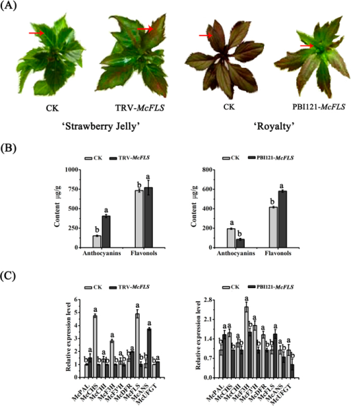 Transient expression of McFLS in crabapple.McFLS expression was suppressed by VIGS using the vector pTRV2-McFLS in 'Royalty', or the gene was overexpressed using the vector pBI121-McFLS in 'Strawberry Jelly'. Crabapple leaves injected with the empty TRV and pBI121 vectors and infiltration buffer were used as controls. (A) Phenotype of McFLS silenced or McFLS overexpressing 'Strawberry Jelly' and 'Royalty' leaves. (B) Anthocyanin and flavonol contents at infiltration sites of crabapple leaves in μg/g fresh weight (FW). (C) Relative transcript expression levels in crabapple leaves around the infiltration sites were determined using qRT-PCR. Error bars indicate the standard error of the mean ± SE of three replicate measurements. Different letters above the bars indicate significantly different values (P < 0.05) calculated using one-way analysis of variance (ANOVA) followed by a Duncan's multiple range test.