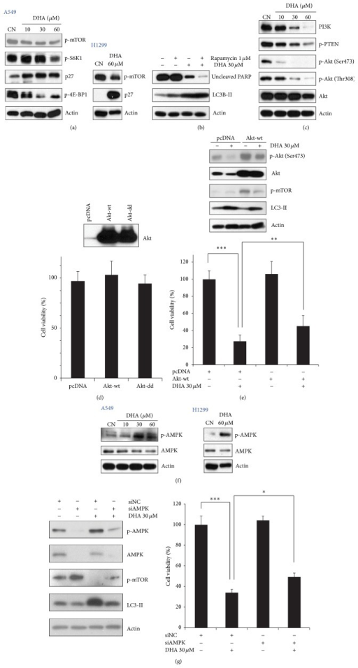 DHA-mediated downregulation of mTOR signaling is related to the induction of autophagy. (a) DHA downregulated mTOR signaling in a dose-dependent manner. A549 (left panel) and H1299 (right panel) cells were incubated with the indicated doses of DHA for 24 h and then subjected to western blot analysis with antibodies against phospho-mTOR, phospho-S6K1, p27, 4E-BP1, and actin. (b) Rapamycin accelerated autophagy and cell death by inhibiting mTOR. A549 cells were incubated for 1 h with or without 1 μM rapamycin before incubation for 24 h with 30 μM DHA. Cell lysates were prepared and examined by western blotting. (c) DHA reduces PI3K/Akt signaling pathway. Western blotting with antibodies against phosphatidylinositol 3-kinase (PI3K)/Akt signaling molecules showed that DHA downregulates PI3K/Akt signaling in a dose-dependent manner. (d)-(e) Expression of Akt-wt partially rescued DHA-induced NSCLC cell death. pcDNA and a Akt-wt vector were transfected into cells using Lipofectamine 2000 reagent for 12 h. The cells were then exposed to 30 μM for another 24 h. Cell viability was examined in an MTT assay ((d) and (e), lower panel) and the cell lysates were analyzed by western blotting with antibodies against phospho-Akt, Akt, phospho-mTOR, and actin ((e), upper panel). ∗∗∗P < 0.001. (f) DHA treatment led to a dose-dependent increase in phospho-AMPK levels. A549 (left panel) and H1299 (right panel) cells were treated with indicated doses of DHA for 24 h and cell lysates were examined by western blotting. (g) siAMPK reduced DHA-induced autophagy and inhibited cell death in NSCLC cells by upregulating mTOR signaling. A549 cells were transfected with a siNC or siAMPK and then exposed to 30 μM DHA for 24 h. Left panel: western blot analysis of phospho-AMPK, AMPK, phospho-mTOR, LC3-II, and actin expression. Right panel: cell viability was measured in an MTT assay. ∗P < 0.05 and ∗∗∗P < 0.001.