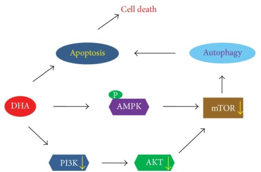 Schematic model of DHA-induced apoptosis and autophagy in NSCLC cells. DHA-induced autophagy and apoptosis in lung cancer cells are triggered by inhibition of mTOR activation via AMPK activation and PI3K/Akt inhibition.