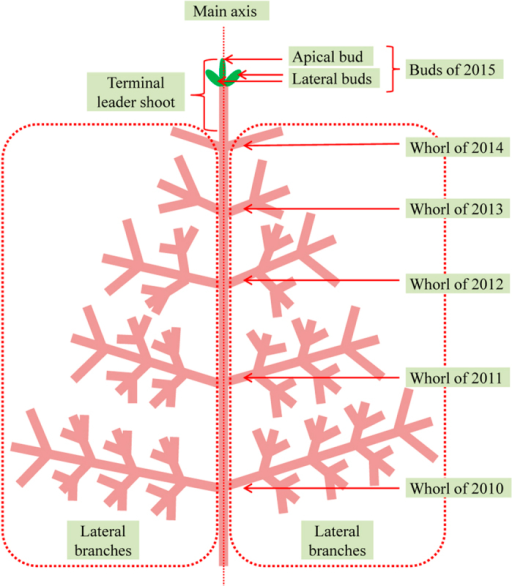 Schematic diagram of Japanese fir tree in January 2015.
