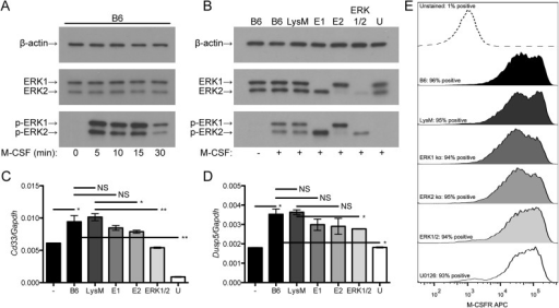 ERK signaling is required for some macrophage responses to M-CSF.(A) Wild-type bone marrow-derived macrophages were treated with 2 ng/ml M-CSF for the indicated times, lysed, and analyzed by Western blotting. Data represent two independent experiments. (B) Bone marrow-derived macrophages were pre-treated for 30 min with U0126 or DMSO vehicle (all others) and then treated with 2 ng/ml M-CSF for 10 min, lysed, and analyzed by Western blotting. Densitometric values (in arbitrary units) for LysM, E1 and ERK1/2 respectively were 33.7, 31.9 and 32.3 for β-actin; 43.7, 36.1 and 6.81 for ERK2; and 31.3, 54.9 and 14.0 for p-ERK2. Data represent two independent experiments. (C) and (D) Bone marrow-derived macrophages were pre-treated for 30 min with U0126 or DMSO and then treated with 2 ng/ml M-CSF for 24 h. RNA expression was measured by qRT-PCR. Each data point represents mean ± standard deviation of triplicate samples. Data are representative of three independent experiments. (E) Bone marrow macrophages were pre-treated with U0126 or DMSO, treated with 2 ng/ml M-CSF for 24 h, collected by detaching the cells using PBS with 10 mM EDTA, stained with 2 μg/ml anti-CD115, and analyzed by flow cytometry. Data represent two independent experiments. Labels: -, untreated; +, treated with M-CSF; B6, C57BL/6J; E1, Erk1-/-; E2, Erk2flox/floxLyz2Cre/Cre; U, U0126-treated C57BL/6J. **: P<0.01, *: P<0.05, NS: P>0.05.