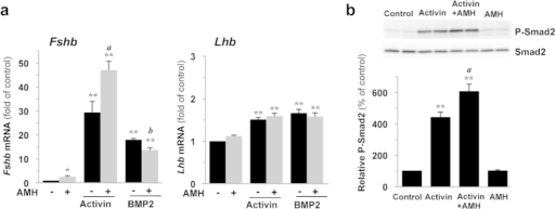 AMH potentiates activin signaling and activin effect on Fshb expression in LβT2 cells.LβT2 cells were stimulated for 4 h with 2.5 μg/ml AMH alone or combined with 10 ng/ml activin A or 20 ng/ml BMP2. (a) AMH enhances activin and counteracts BMP2 stimulation of Fshb expression. Fshb and Lhb mRNA levels were determined by real-time qPCR and expressed as the mean ± SEM of at least 3 independent experiments. (b) AMH improves activin coupling to the Smad2/3 pathway. P-Smad2 protein level was evaluated by immunoblotting and normalized with total Smad2. *P ≤ 0.05; **P ≤ 0.01 compared with control cells. a, P ≤ 0.05 between AMH and AMH+activin treatments. b, P ≤ 0.05 between AMH and AMH+BMP2 treatments.